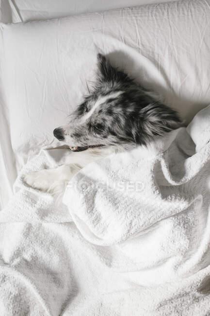 Сверху пушистая граница колли собака лежит под белым одеялом на кровати с подушкой в спальне дома — стоковое фото