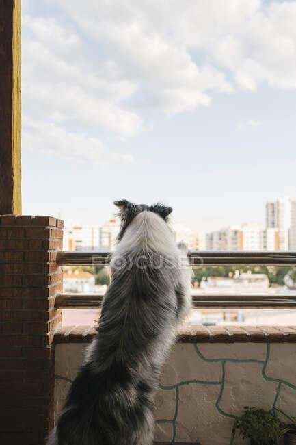Atento borde collie con piel gris de pie cerca de barandilla en el balcón de la casa residencial y la observación de paisaje urbano con casas contra el cielo nublado - foto de stock