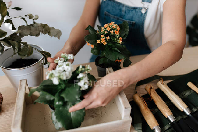 Cropped unrecognizable female gardener in denim overalls with potted plants with blooming flowers in wooden box — стоковое фото