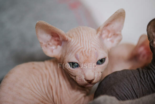 Closeup of adorable purebred newborn kitty with hairless coat and large eyes looking at camera on blurred background — Stock Photo