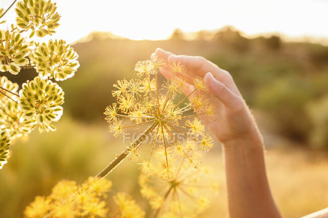 Coltivare femmina irriconoscibile delicatamente toccando giardino angelica pianta in campo al tramonto in primavera — Foto stock
