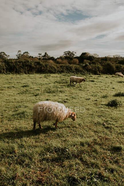 Schafherde weidet an sonnigen Tagen im Grünen auf der Weide — Stockfoto