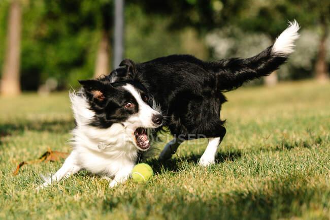 Забавный пес на границе Колли играет с теннисным мячом на зеленой лужайке в парке в солнечный день летом — стоковое фото