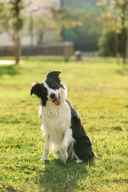 Очаровательная пушистая пограничная колли-собака сидит с языком на траве в поле и смотрит в камеру — стоковое фото