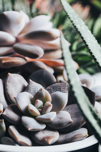 Small green Echeveria Elegants succulent potted plant placed on wooden surface in light place — Stock Photo