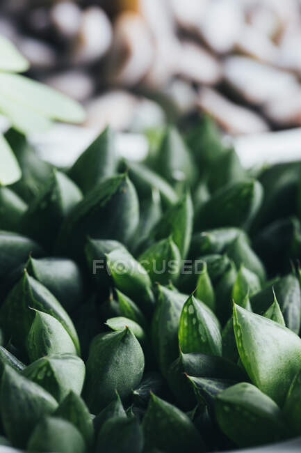 Top view of small green haworthia retusa succulent potted plant placed on wooden surface in light place — Stock Photo