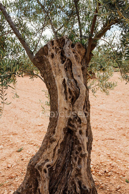 Trunk of olive tree with some branches. Vertical photo — Stock Photo