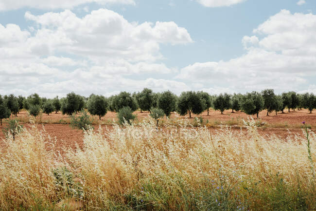 Field of olive trees with dry grasses in the foreground. Landscape photo — Stock Photo