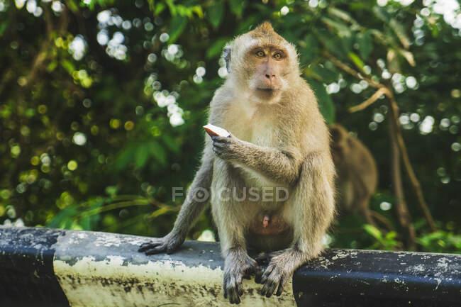 Мавпа з бежевим хутром і свіжі фрукти сидять на паркані проти зелених дерев, дивлячись у далечінь у Таїланді. — стокове фото