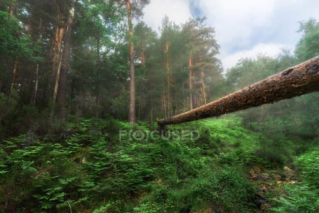 Scenery of dry tree trunk over verdant grassy ravine in abundant summer forest in daylight — Stock Photo
