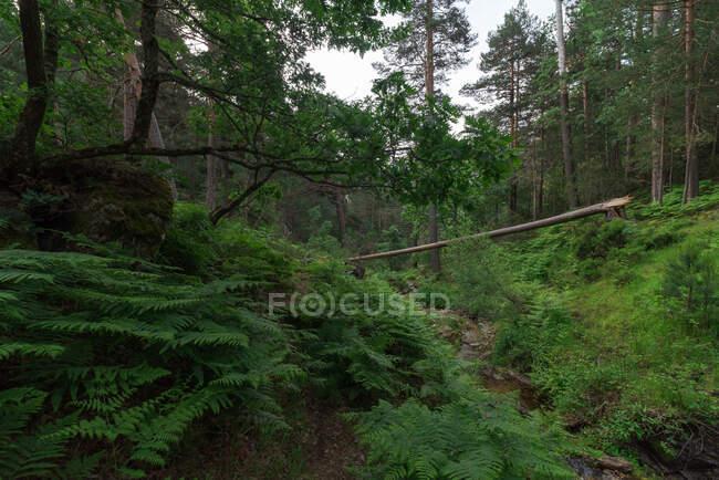 Сцени сухого стовбура дерев над буйною травою в густому лісистому лісі. — стокове фото