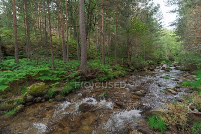 Pintoresco paisaje de rápido arroyo poco profundo que fluye a través de un terreno pedregoso en un verde bosque verde en un clima claro de verano - foto de stock