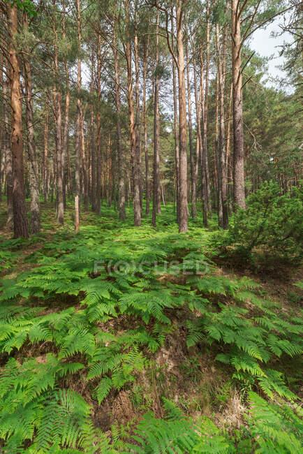 Богатый густой лес с высокими зелеными деревьями и пышными кустарниками папоротника в ясный летний день — стоковое фото