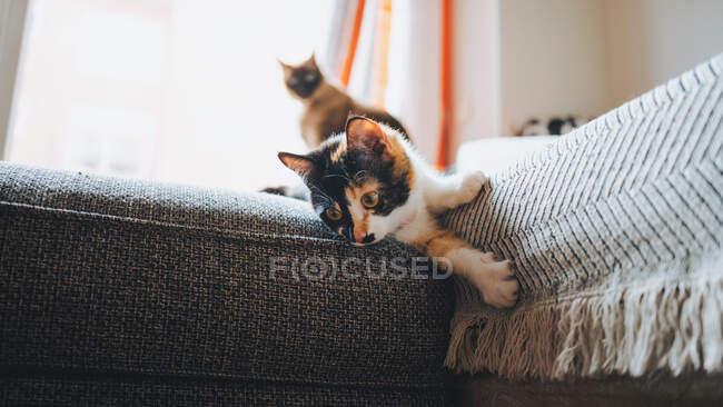 Красивая кошка с триколорным пальто сидит на удобном диване и смотрит вдаль в современных апартаментах — стоковое фото