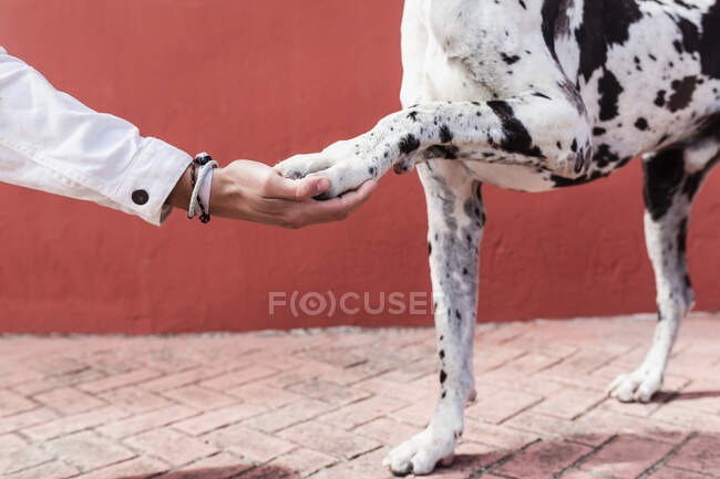 Crop unrecognizable male owner holding paw of adorable Harlequin Great Dane dog while standing on paved street in sunlight — Stock Photo
