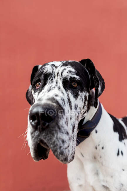 Adorable calm Harlequin Great Dane dog sitting on paved street near red wall and looking away — Stock Photo