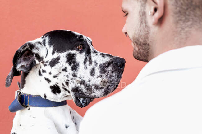Side view of happy young unshaven male in casual clothes and adorable obedient Harlequin Great Dane dog hugging each other against red background — Stock Photo