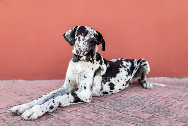 Side view of adorable calm Harlequin Great Dane dog sitting on paved street near red wall and looking away — Stock Photo