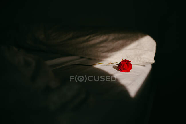 Delicate red rose flower placed on white bedsheet in room with bright sunlight — Stock Photo
