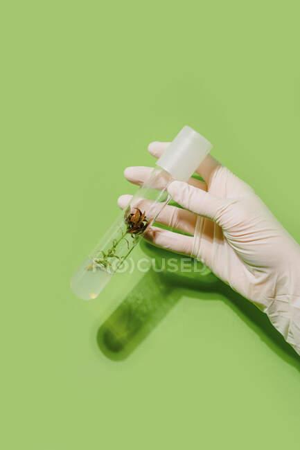 Cultivo científico irreconocible con planta en tubo de plástico sobre fondo verde en estudio - foto de stock