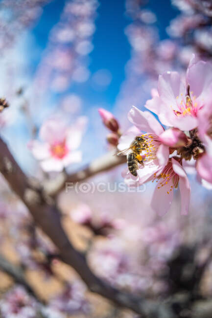 Hardworking bee sipping sweet nectar on tender pink flower growing on blossoming almond tree in spring garden on sunny day — Stock Photo