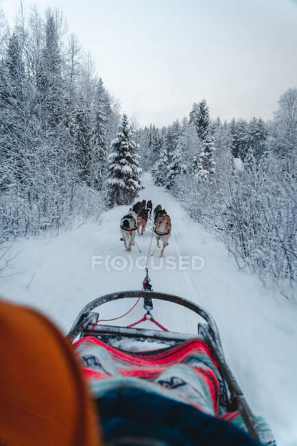 Задний вид саней, тянущих сани на снежной дороге среди лиственных деревьев, растущих в зимнем лесу на фоне облачного неба — стоковое фото