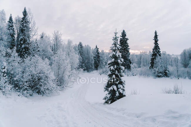 Picturesque scenery of spruces and leafless trees covered with hoarfrost growing on snowy terrain against cloudy sky in winter — Stock Photo