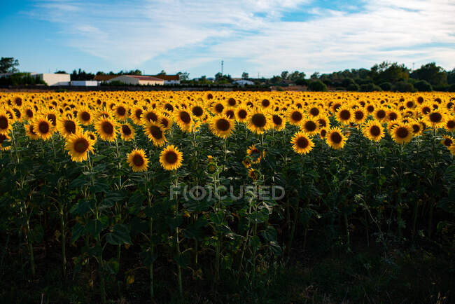 High angle of blossoming sunflower field lit by sunlight in countryside in summer — Stock Photo