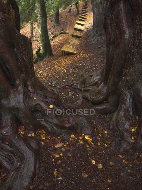 Arbres épais avec de grandes racines envahies poussant dans les bois près du sentier en bois au début de l'automne — Photo de stock