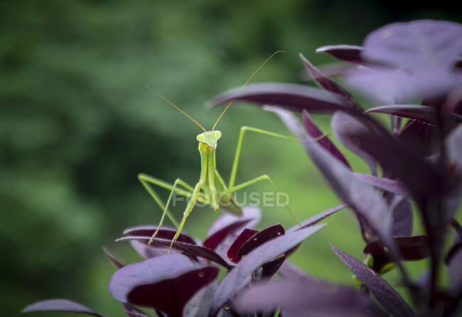 Curing green grasshopper sitting on delicate dark red plant leaf on blurred wild nature background — Stock Photo
