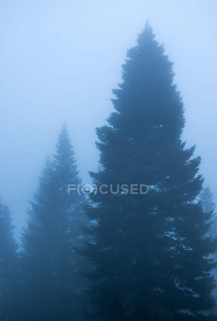 Scenic view of woods with coniferous trees growing under cloudy sky in foggy weather in twilight — Stock Photo
