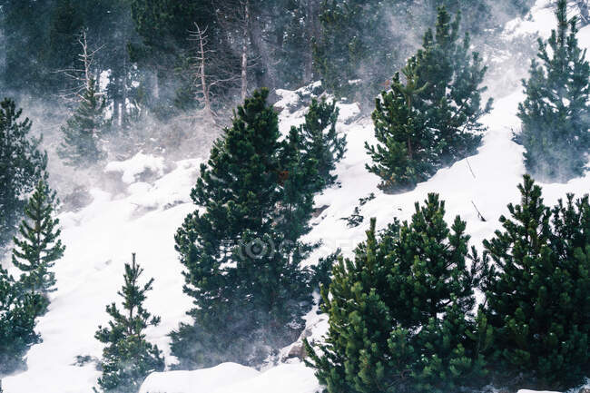 Picturesque view through evergreen tree branches of high mount covered with snow in daylight — Stock Photo