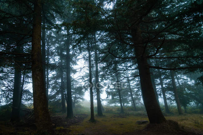 Overgrown green trees with thick trunks growing on dry land in woods on misty day — Stock Photo
