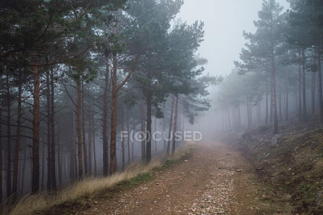 Picturesque scenery of woods with sandy pathway surrounded by coniferous trees on gloomy day — Stock Photo