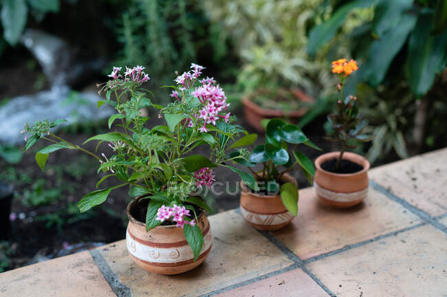 Pentas lanceolata flower in ceramic pot placed in hothouse near Pilea plant and blooming Kalanchoe — Stock Photo
