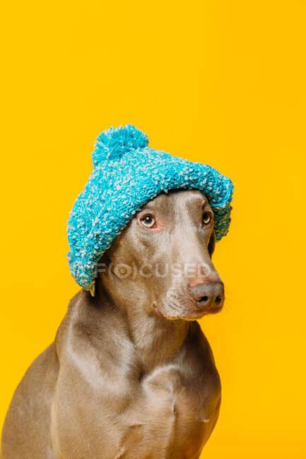 Очаровательный смешной чистокровный пёс Веймаранер, одетый в синюю вязаную шляпу, сидит на жёлтом фоне в студии — стоковое фото