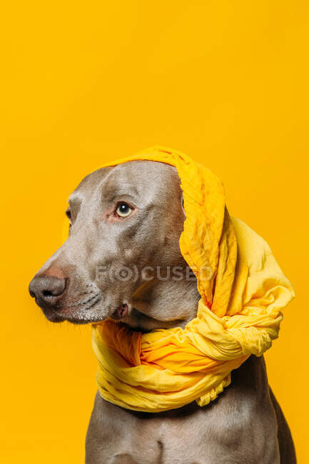 Adorable purebred Weimaraner dog with yellow headscarf on head sitting against yellow background in studio — Stock Photo