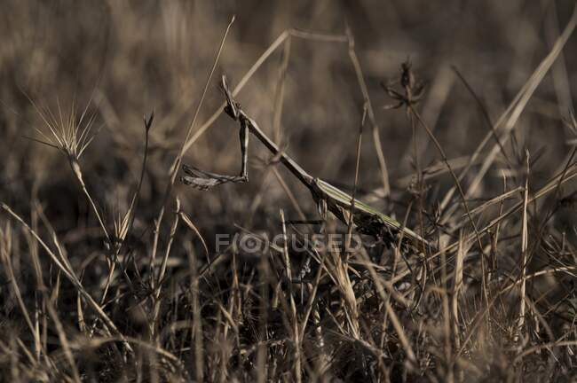 Closeup of green mantis insect sitting among dry grass in summer field in nature — Stock Photo