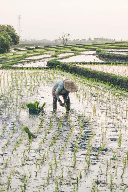 A worker working in a rice field — Stock Photo