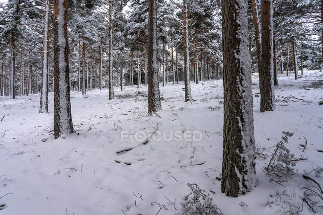 Pine forest covered with snow in Candelario, Salamanca, Castilla y Leon, Spain. — Stock Photo