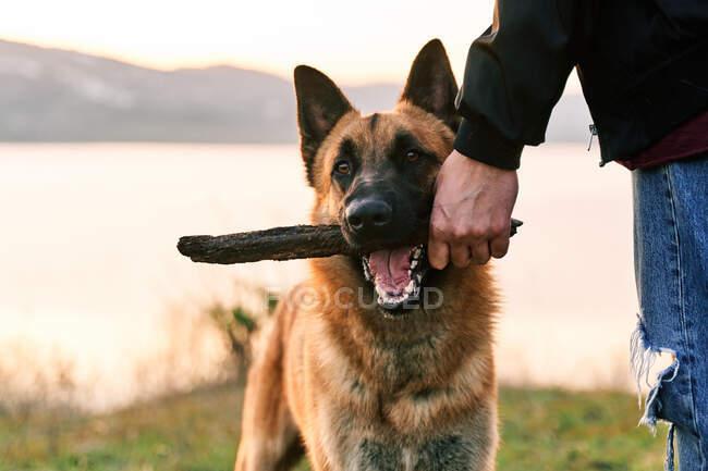 Людину, яка бавиться з німецьким собакою - вівчарем з палицею на березі озера під час заходу сонця. — стокове фото
