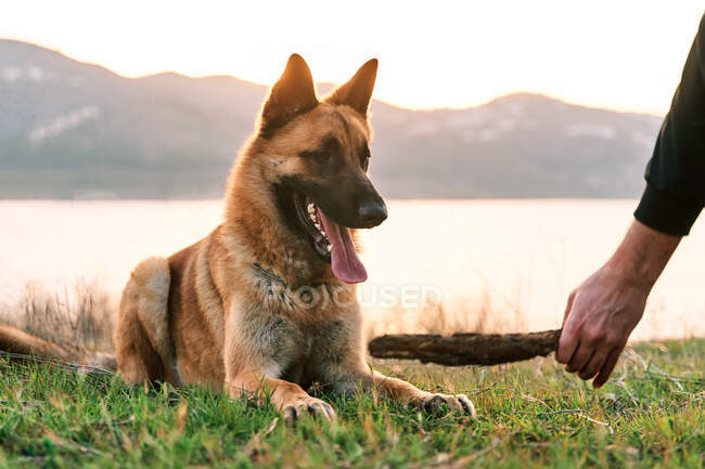 Crop man playing with German Shepherd dog with stick in mouth on shore of lake at sunset — Stock Photo