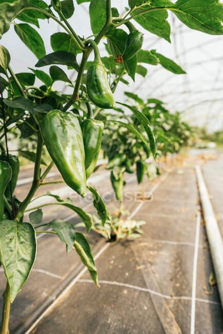 Piante con peperoni e fogliame ondulato su steli sottili che crescono in fila in serra — Foto stock