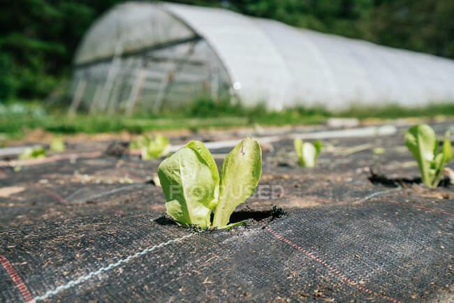 Righe di piante da lattuga con fogliame ondulato che crescono in buchi di materiale di copertura contro la serra su terreni agricoli — Foto stock
