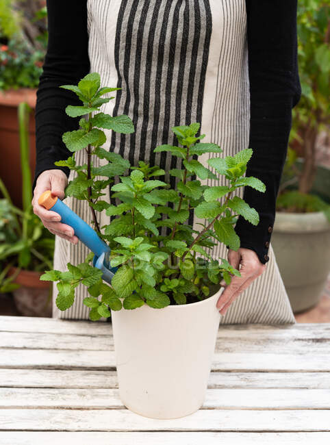 Crop woman planting mint in garden — Stock Photo