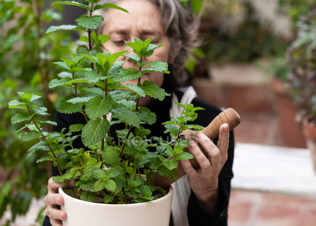 Elderly female gardener with wooden shovel caring about mint plant in pot in garden — Stock Photo