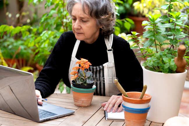 Старша жінка - садівник у фартусі сидить за столом і переглядає ноутбук, працюючи в хатині з різними рослинами. — стокове фото