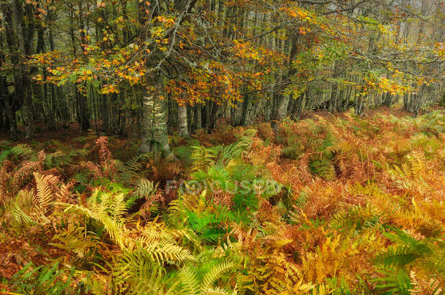 Scenic view of green and yellow ferns growing in lawn in autumn deciduous forest — Stock Photo