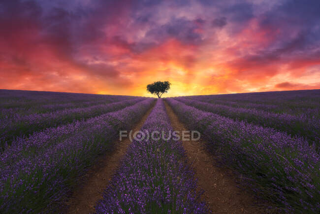 Majestic scenery of lonely tree growing in field with blooming lavender flowers on background of colorful sundown sky — Stock Photo