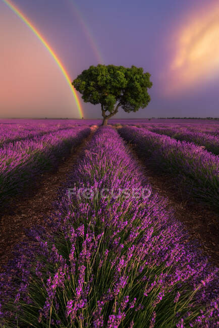 Majestic scenery of blooming lavender flowers and green tree growing in field under rainbow in sunset sky — Stock Photo